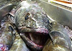 Tracking Patagonian toothfish