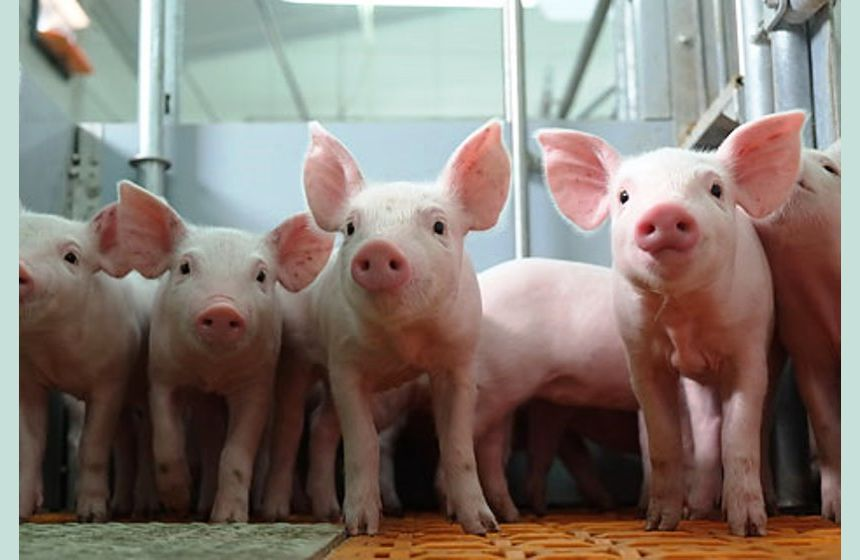 Iron approach to healthy pigs